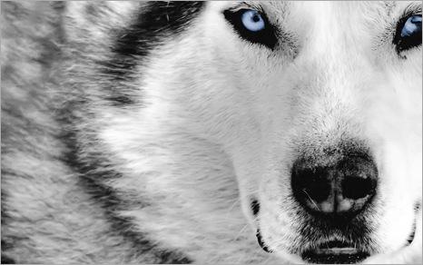 Mystic_Wolf_1280x800